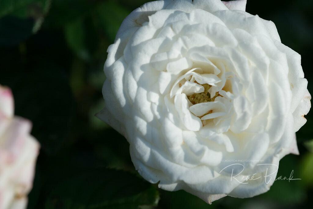"""Buschröschen """"Rosa"""""""